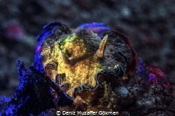 painted girgled glossodoris Lembeh by Deniz Muzaffer Gökmen